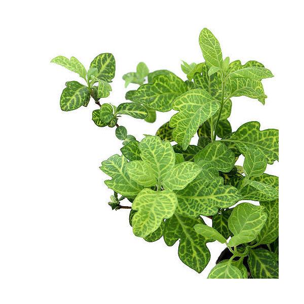 (観葉植物)ハニーサックルゴールデン 3号(1ポット) 家庭菜園