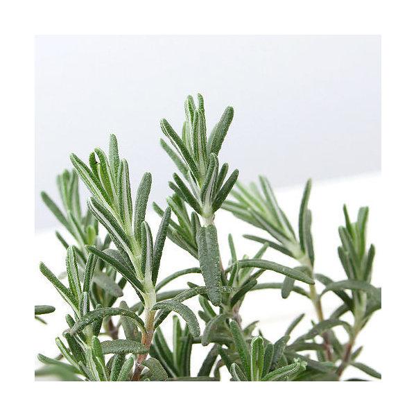 (観葉植物)ハーブ苗 ローズマリー コルシカン 半匍匐性 3号(1ポット) 家庭菜園