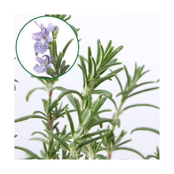 (観葉植物)ハーブ苗 ローズマリー モーツァルトブルー 半匍匐性 3号(1ポット) 家庭菜園