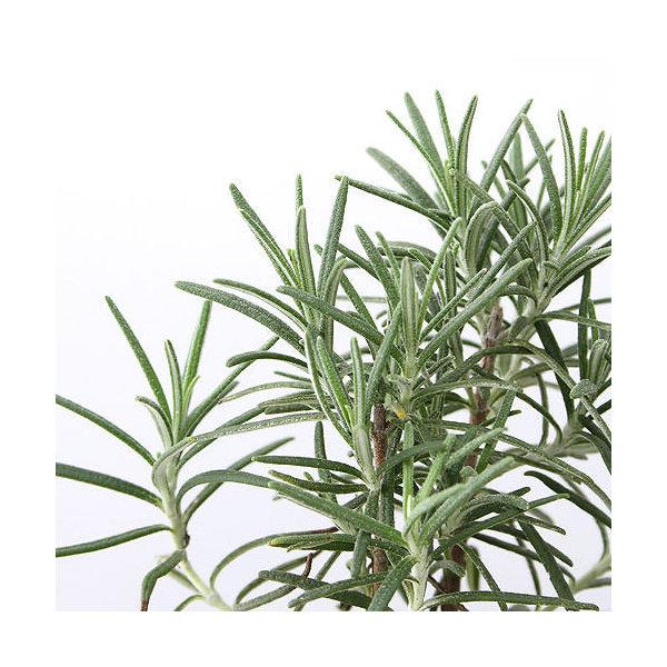 (観葉植物)ハーブ苗 ローズマリー ベネンデンブルー 立性 3号(1ポット) 家庭菜園