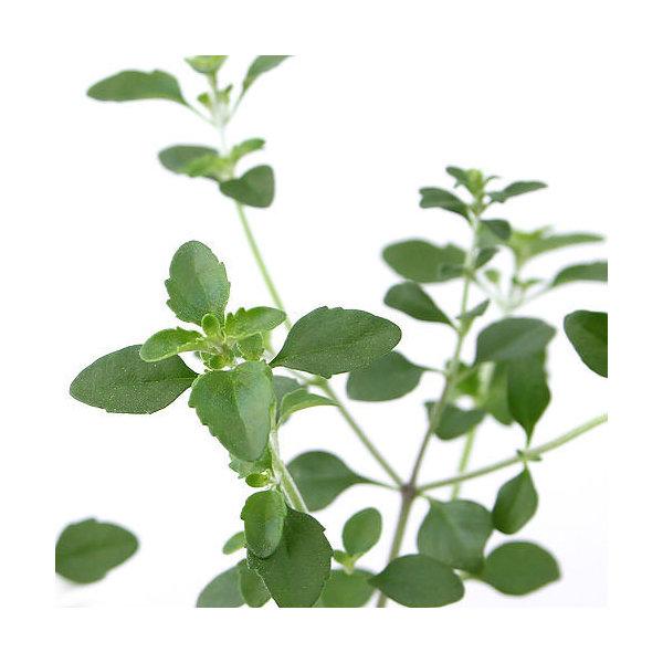 (観葉植物)ハーブ苗 ミントブッシュ 3号(1ポット) 家庭菜園