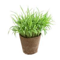 (観葉)スーダングラス 猫草 直径8cmECOポット植え(無農薬)(ハイミニ ビビ鉢付き・オレンジ)