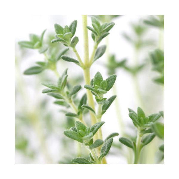 (観葉植物)ハーブ苗 タイム ラベンダー 3号(1ポット) 家庭菜園