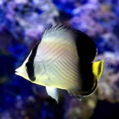 (海水魚)インドフウライチョウチョウウオ(1匹)