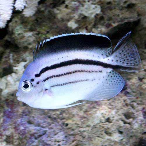 (海水魚)ヤッコ タテジマヤッコ(1匹)