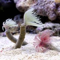 (海水魚)ケヤリ おまかせ品種(1匹)