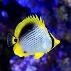 (海水魚)沖縄産 アケボノチョウチョウウオ(1匹)