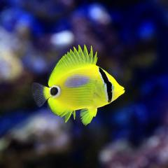 (海水魚)沖縄産 スミツキトノサマダイ SSサイズ(1匹) チョウチョウウオ