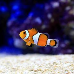 (海水魚)沖縄産 カクレクマノミ Sサイズ(ワイルド)(1匹) 北海道・九州・沖縄航空便要保温