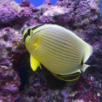 (海水魚)沖縄産 ミスジチョウチョウウオ(1匹)