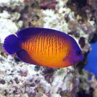 (海水魚)ヤッコ バリ産 ルリヤッコ(1匹)