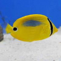 (海水魚)沖縄産 スミツキトノサマダイ Mサイズ(1匹) チョウチョウウオ