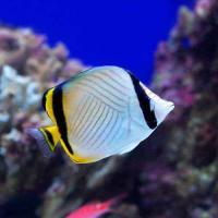 (海水魚)沖縄産 フウライチョウチョウウオ Mサイズ(1匹)