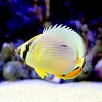 (海水魚)インディアンメロンバタフライ(1匹) チョウチョウウオ