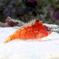 (海水魚)ウイゴンベ(1匹)