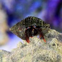 (海水魚)ヤドカリ 沖縄産 セグロサンゴヤドカリ(1匹)