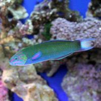 (海水魚)オトメベラ Lサイズ(1匹)