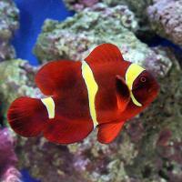 (海水魚)スパインチークアネモネフィッシュ イエローバンド MLサイズ(ワイルド)(1匹)