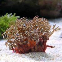 (海水魚 サンゴ)クダサンゴ おまかせカラー SSサイズ(1個) 北海道・九州航空便要保温