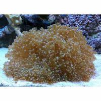 (海水魚 サンゴ)コエダナガレハナサンゴ おまかせカラー Mサイズ(ワイルド)(1個) 北海道・九州航空便要保温