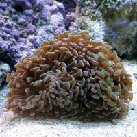 (海水魚 サンゴ)ナガレハナサンゴ おまかせカラー Mサイズ(ワイルド)(1個) 北海道・九州航空便要保温