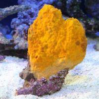 (海水魚 無脊椎)沖縄産 オレンジスポンジ MLサイズ(1個) 北海道・九州航空便要保温