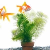 (水草)メダカ・金魚藻 ミニ素焼き鉢(1鉢) 熱帯魚