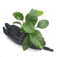 (水草)アヌビアス バルテリー ストライプ 流木付 Sサイズ(1本)(約15cm)