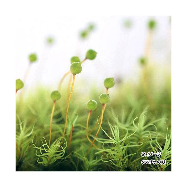 (観葉植物)苔 タマゴケ 1パック分