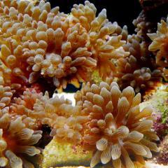 C.P.Farm直送(海水魚 無脊椎)マメサンゴイソギンチャク 3個体(0.08個口相当)別途送料 海水 サンゴ
