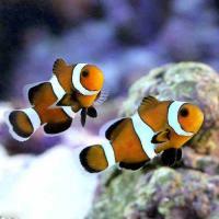 (海水魚)ブラックオセラリス キャラメルカラー(ブリード)(1匹)
