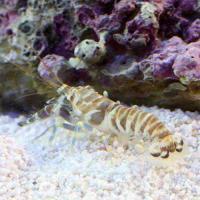 (海水魚)エビ グリーンタイガーピストルシュリンプ(1匹)