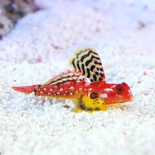 (海水魚)ルビーレッドドラゴネット オス(1匹)