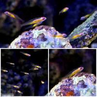 (海水魚)沖縄産 アカメハゼ(1匹)