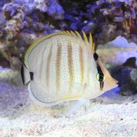 (海水魚)マルチバンドバタフライフィッシュ(1匹) チョウチョウウオ
