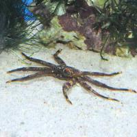 (海水魚)カニ (B品)トゲアシガニ ミックス(1匹)