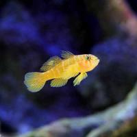 (海水魚)ラスティーゴビー(1匹)