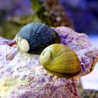 (海水魚)貝 海洋性カノコガイ Mサイズ コケの掃除(1匹)