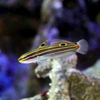 (海水魚)沖縄産 キンセンハゼ(1匹)