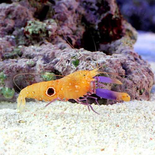 (海水魚)エビ ヒノマルテッポウエビ(1匹)