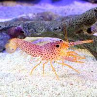 (海水魚)エビ パープルリーフロブスター(1匹)
