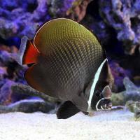 (海水魚)コラーレバタフライ Lサイズ(1匹) チョウチョウウオ