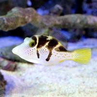 (海水魚)ノコギリハギ(1匹)