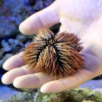 (海水魚)ウニ ナガウニ Lサイズ(1匹)