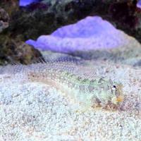 (海水魚)エリグロギンポ(ブレニー)(1匹)