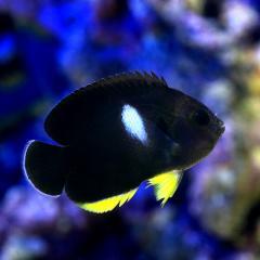 (海水魚)ヤッコ キーホールエンゼル(1匹)