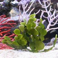 (海水魚)海藻 ウチワサボテングサ 岩なし Sサイズ(1株)