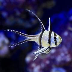 (海水魚)プテラポゴン・カウデルニー(1匹)