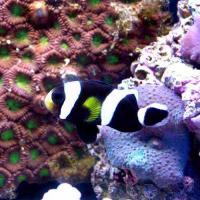 (海水魚)ブラッククラウン(ワイルド)(1匹)