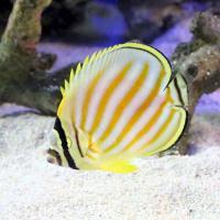 (海水魚)ハナグロチョウチョウウオ(1匹)
